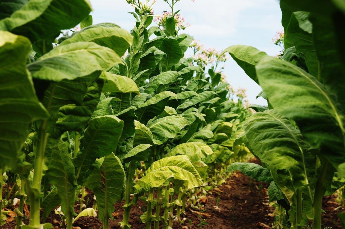 Tabak anbau - hier wird erklärt wie Tabak angebaut wird in unserem Blog Beitrag